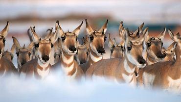 Antylopa widłoroga. Każdego roku mało liczna populacja antylop widłorogich odbywa najdłuższą migracją w Ameryce, wędrując w kierunku Arktyki.