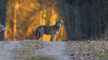 Wilki przechodzą przez Trybę Grubolipną.