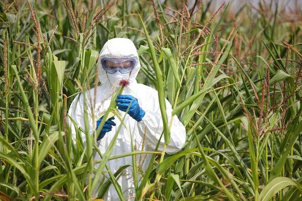 Żywność GMO może być nawet zdrowsza od zwykłej (fot. Shutterstock)