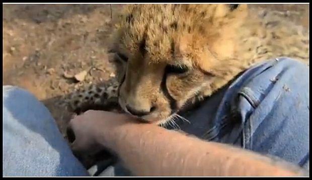 Gepardzik!