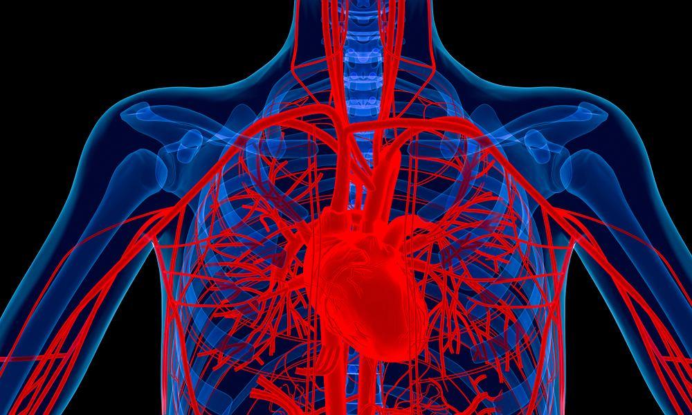 Aorta jest największym naczyniem tętniczym człowieka.