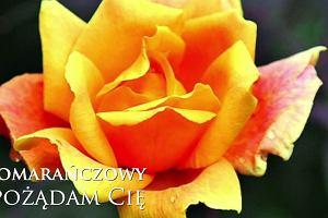 Kolory róż. Co oznacza kolor kwiatów?