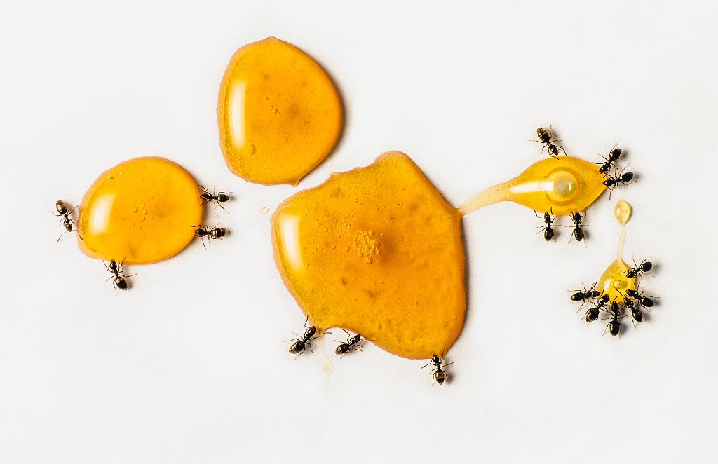 Hurtnice pospolite przechowują w swoich koloniach przez zimę jaja mszyc, a wiosną przenoszą młode osobniki w pobliże korzeni traw, kukurydzy, bawełny czy pszenicy, co doprowadza do osłabienia roślin, a nawet ich zamierania.