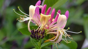 Wiciokrzew - pielęgnacja i uprawa. Jak dbać o pnącza, których kwiaty przyciągają kolorem i słodkim zapachem?