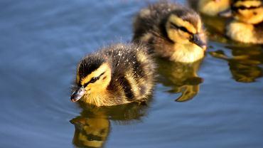 kaczki (zdjęcie ilustracyjne)