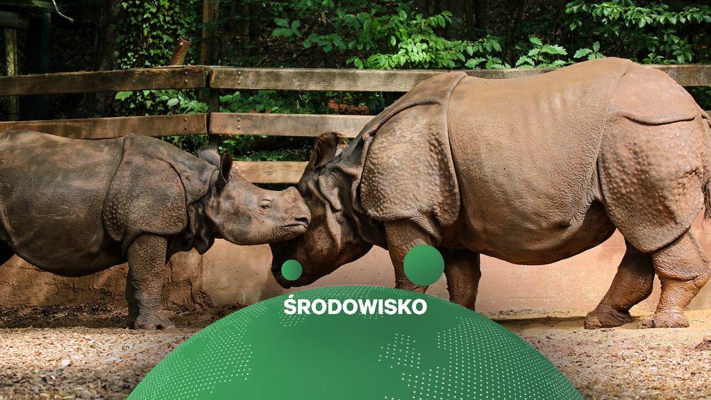 Nosorożec indyjski - krewny nosorożca jawajskiego zagrożonego wyginięciem