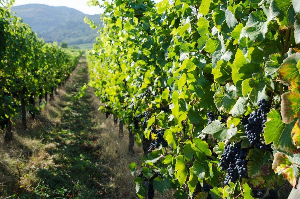 Uprawa odmiany pinot noir