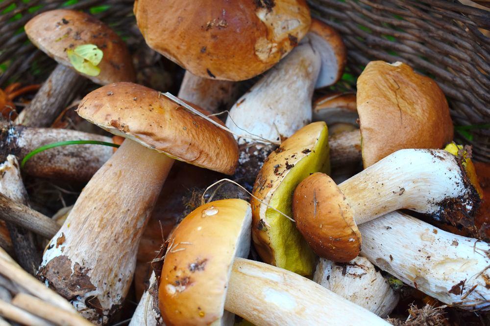 Zbieranie grzybów to sport narodowy Polaków. Mimo, że wiele gatunków spotkać można już od marca, to właśnie pod koniec lata rozpoczyna się ich prawdziwy wysyp.