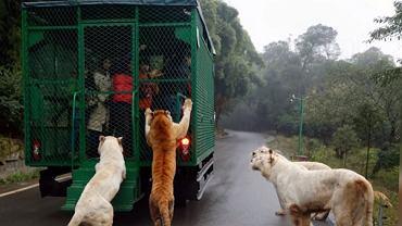 W chińskim zoo to ludzie zamykani są w klatkach