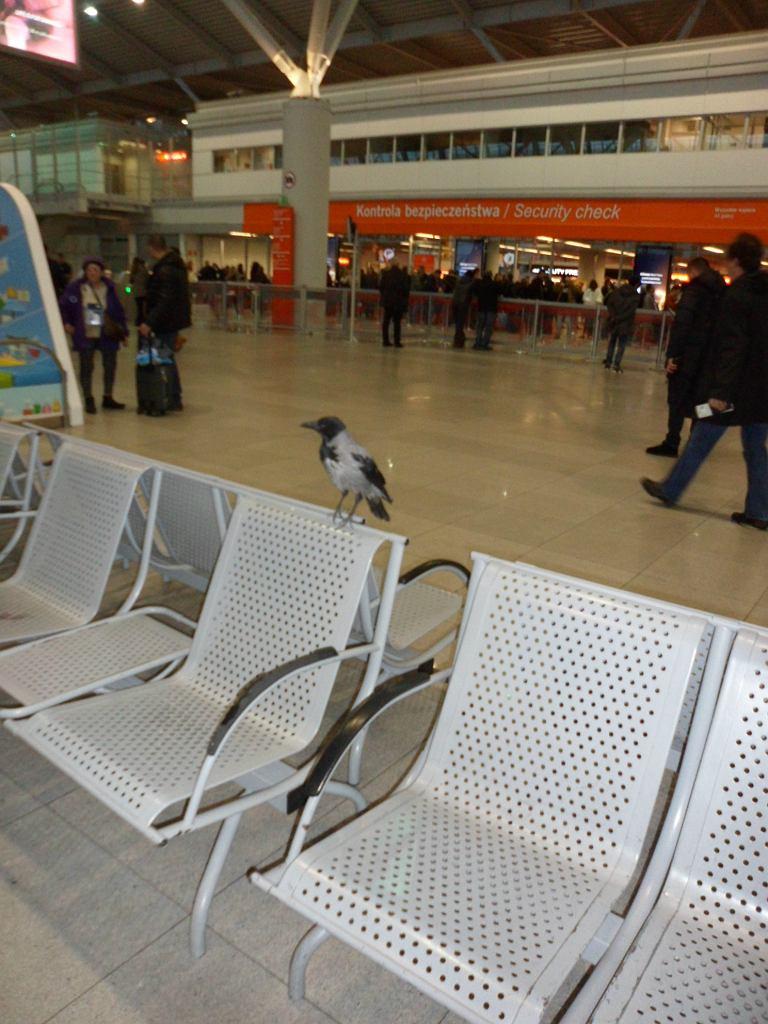 Wrona na Lotnisku Chopina