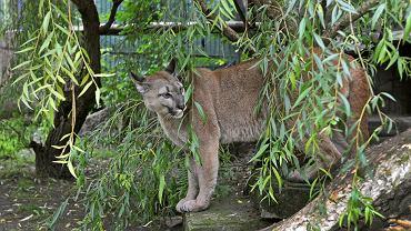 Puma Nubia w śląskim ZOO