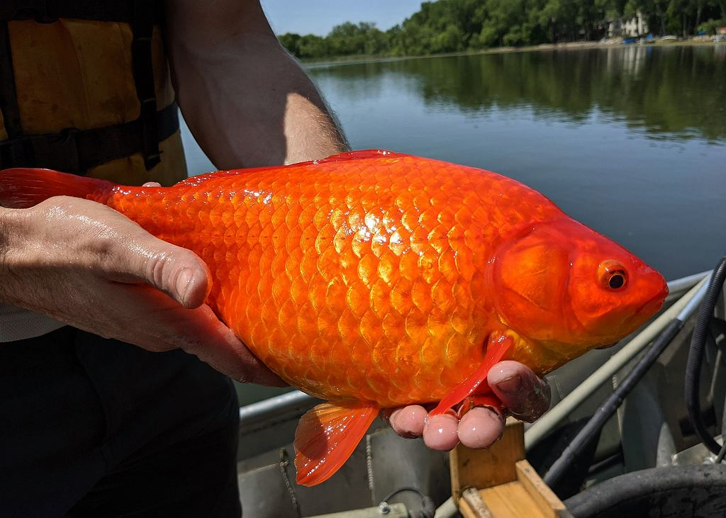 Fot. Gigantyczne złote rybki