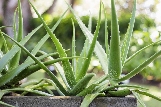 Aloes zwyczajny. Zdjęcie ilustracyjne