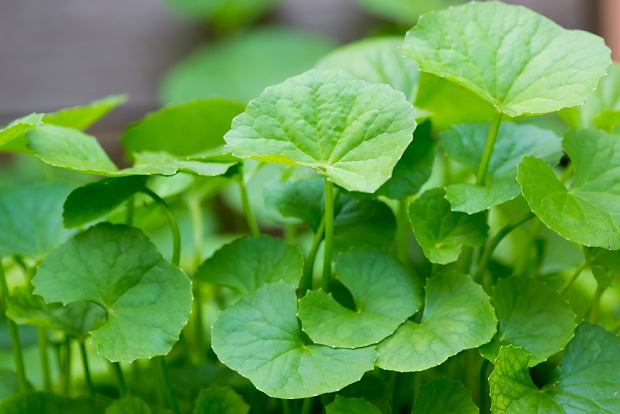 Wąkrotka azjatycka - czym jest ta roślina i jakie ma właściwości?