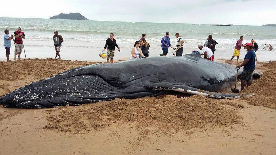 Setki ludzi zaangażowały się w pomoc wielorybowi