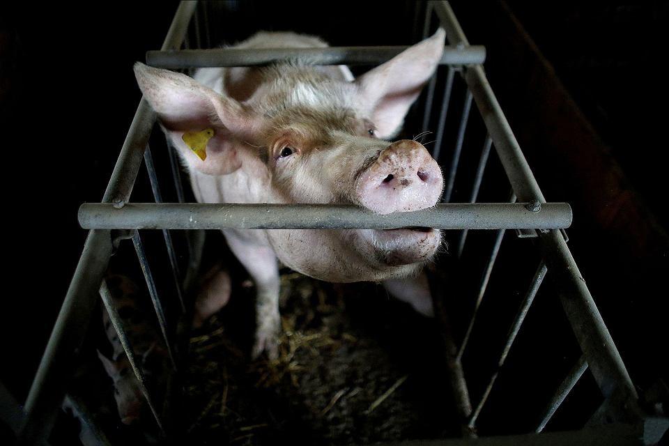 Zdjęcie numer 2 w galerii - Ponad 140 naukowców wzywa Komisję Europejską do zakazania hodowli klatkowej