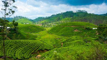 Herbaciane pola na Sri Lance