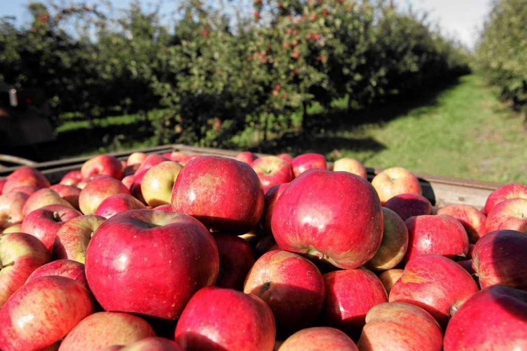 W jabłkach jesteśmy potęgą. Polska produkuje ich rocznie 3 mln ton.
