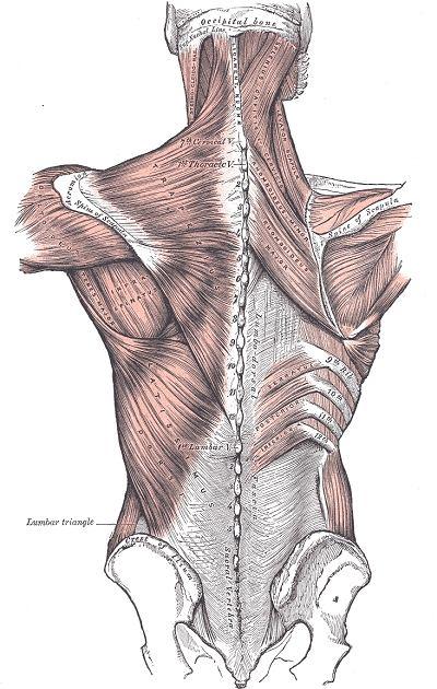 Układ mięśni pleców człowieka