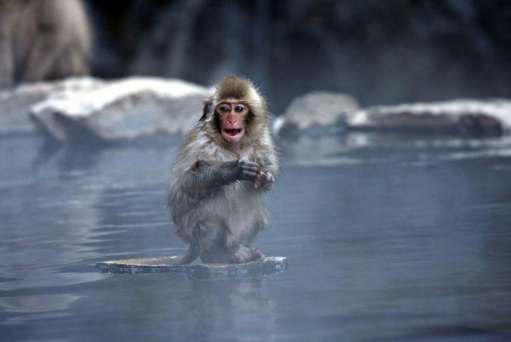Mały makak japoński w cieplicach Jigokudani, Japonia / fot. Shutterstock
