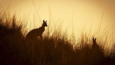 Australia - kangury / fot. Shutterstock
