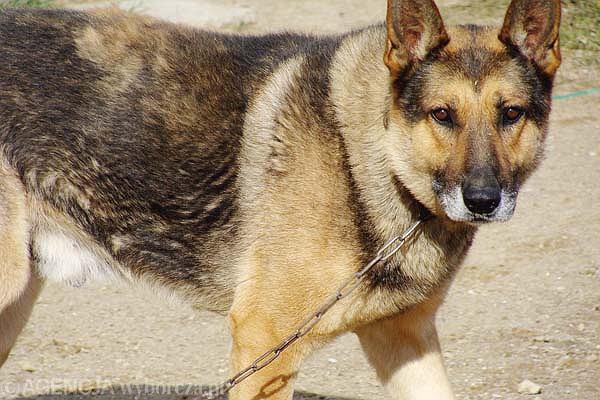 Posłowie chcą zakazać trzymania psów na łańcuchach