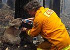 Koala o imieniu Sam nie żyje