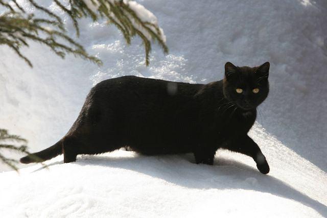 zdjęcia dużych czarnych kotów