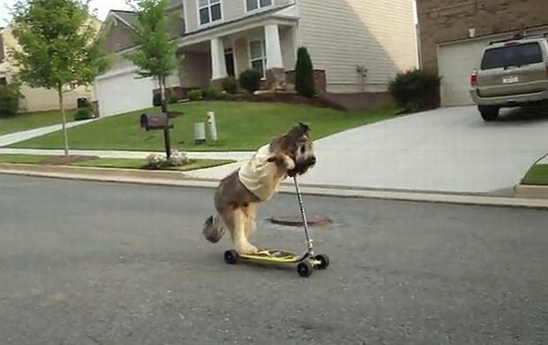 Pies na hulajnodze