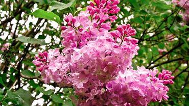 'Belle de Nancy', silnie i wysoko rosnąca odmiana lilaka pospolitego, różowe kwiaty