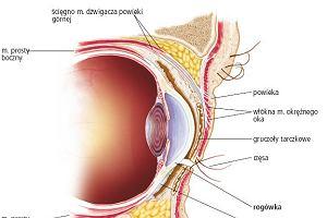 Rogówka - od budowy anatomicznej po przeszczep