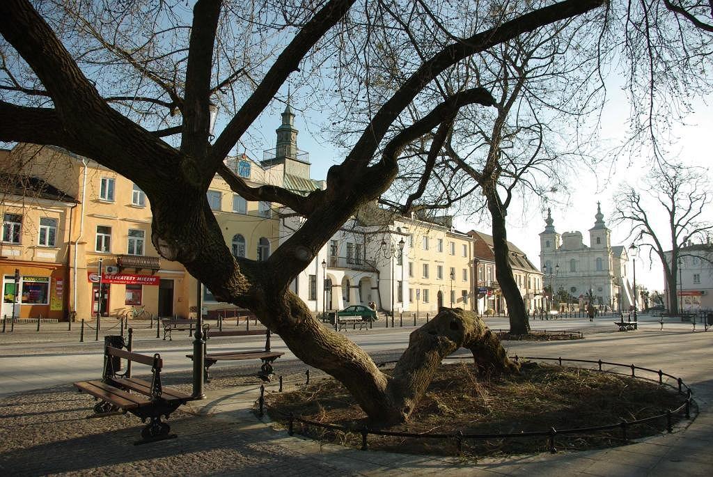 Drzewo Roku 2018 - Klęczące drzewo z Krasnegostawu