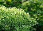 Bylica boże drzewko: właściwości i zastosowanie