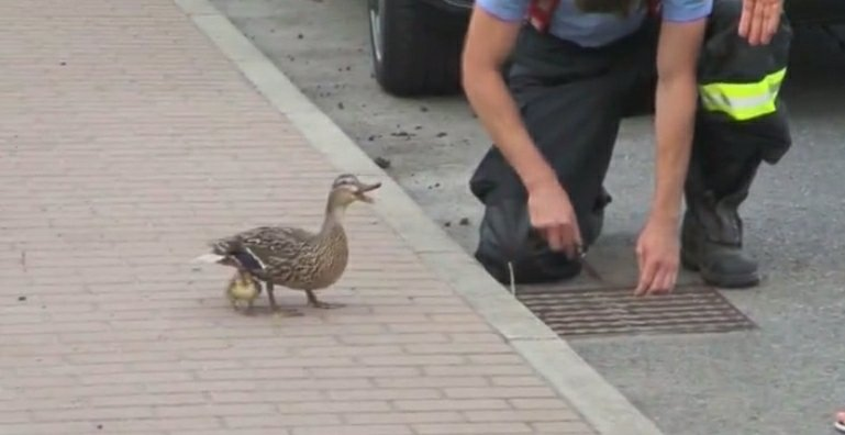 Strażacy uratowali kaczątka