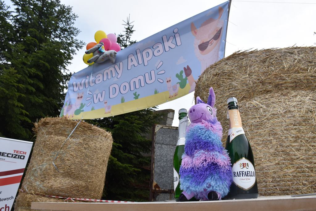 Powitanie alpak w Płocku