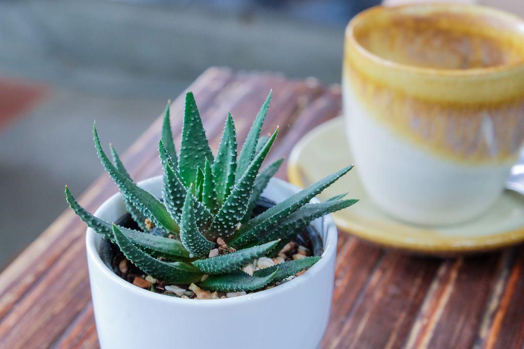 Aloes najlepiej przesadzić do niskiej i szerokiej donicy. Zdjęcie ilustracyjne