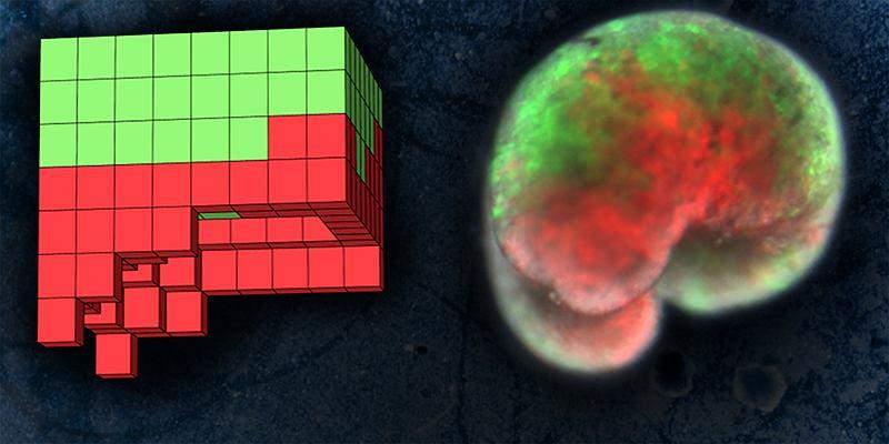 Po lewej: komputerowo zaprojektowany model robota z żywych komórek. Po prawej: realizacja projektu z żywych komórek żaby. Na zielono oznaczone są komórki skóry, na czerwono - mięśnia serca
