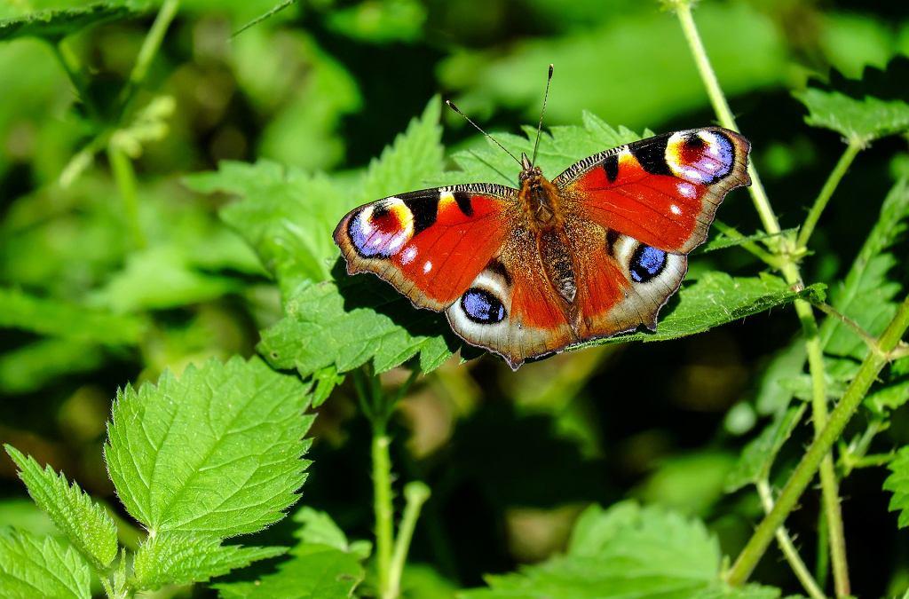 Rusałka pawik, jeden z najpospolitszych motyli w Polsce