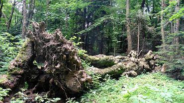 Przewrócony Buk Jagiełły w Świętokrzyskim Parku Narodowym