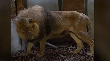 Lew Jon zabrany z cyrku we Francji. Zwierzę miało spiłowane zęby i wyrwane pazury.