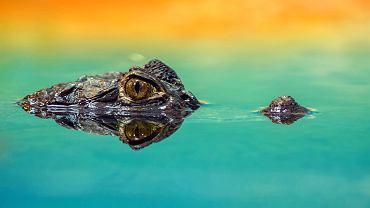 aligator (zdjęcie ilustracyjne)