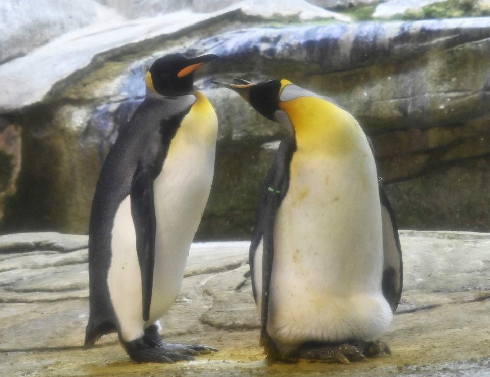Skipper i Ping to para samców z berlińskiego ZOO.