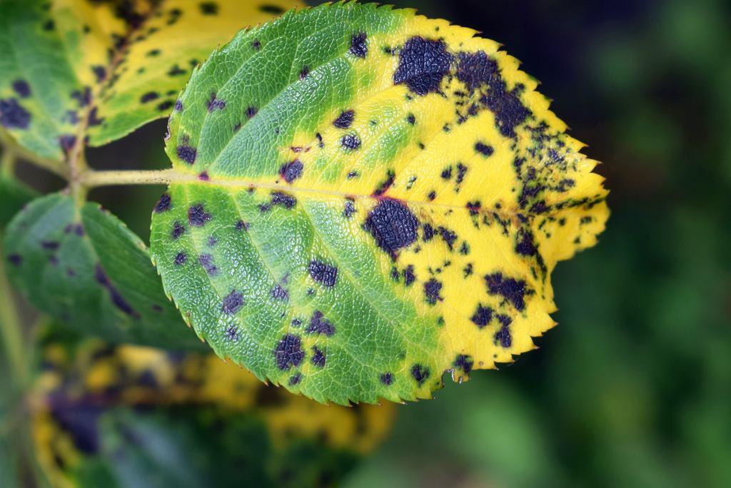 choroba róży - czarna plamistość