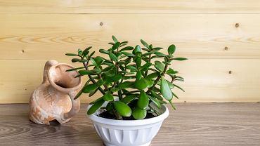 Drzewko szczęścia to mało wymagająca roślina. Zdjęcie ilustracyjne