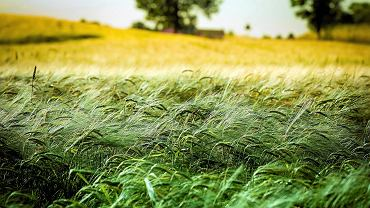 Jęczmień na polu