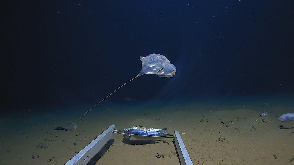 Nieznane stworzenie na dnie Oceanu Indyjskiego