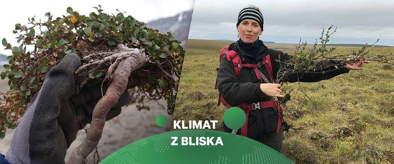 Zmiany klimatu w Arktyce z perspektywy małych krzewinek