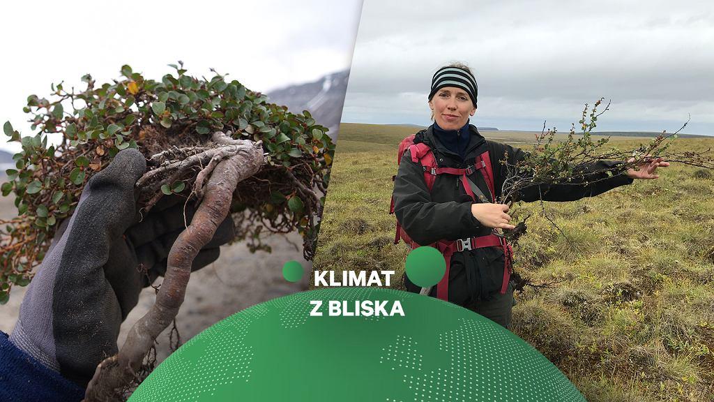 Zmiany klimatu w Arktyce z perspektywy małych krzewinek. Na zdjęciu Agata Buchwał, doktor Nauk o Ziemi UAM.