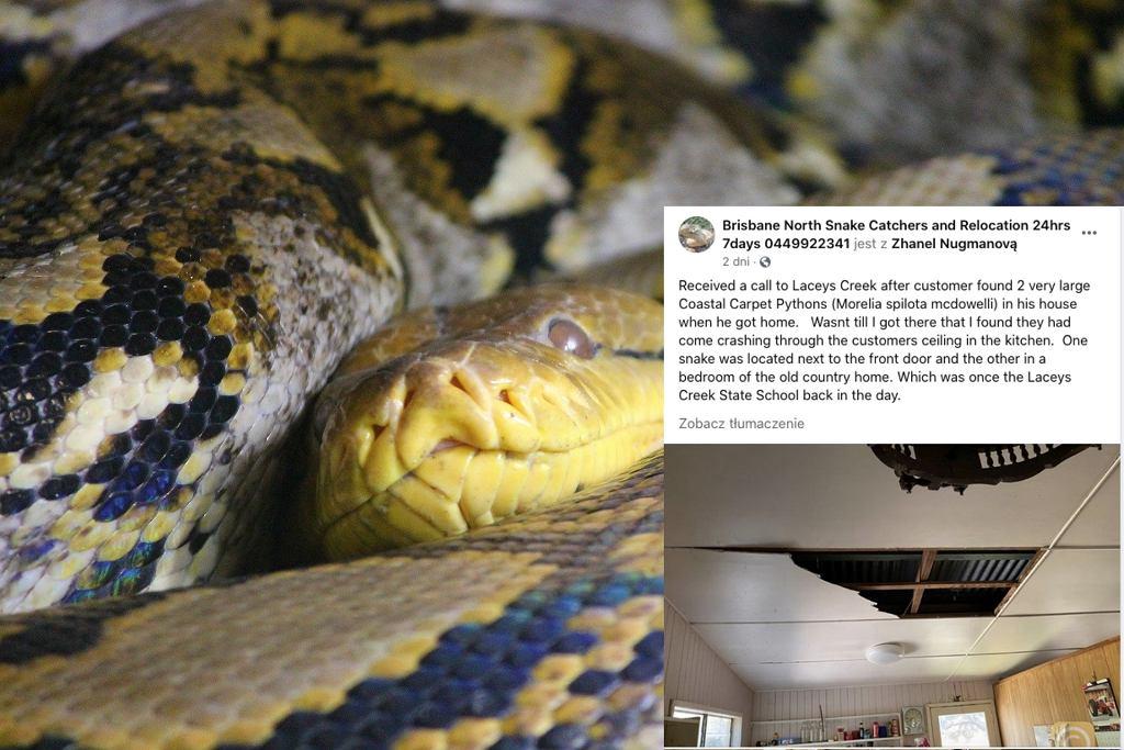 Australia. Węże wpadły do jego domu przez dziurę w suficie. Miały prawie 3 metry długości