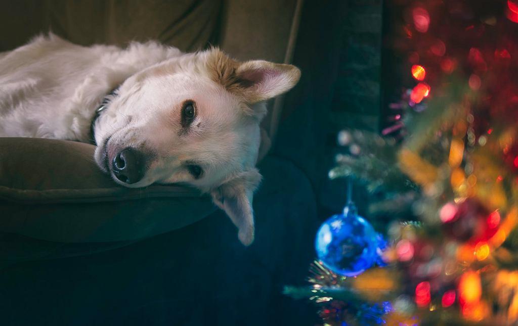 Single, psy i święta. Jak sprawdza się to połączenie?